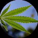 cannabisinsun